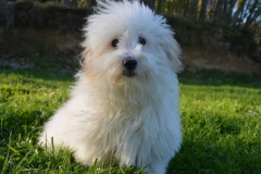 dog-coton-de-tulear-coat-white
