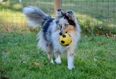 shetland-sheepdog-blue-merle-animal-dog-pet
